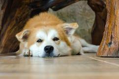 Visage en gros plan du chien brun mignon se trouvant sur le plancher Photos libres de droits