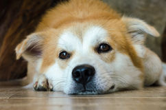 Visage en gros plan du chien brun mignon se trouvant sur le plancher Image libre de droits