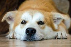 Visage en gros plan du chien brun mignon se trouvant sur le plancher Images stock