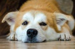 Visage en gros plan du chien brun mignon se trouvant sur le plancher Photographie stock