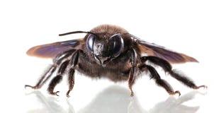 Visage européen d'en d'abeille de charpentier (violacea de Xylocopa) images stock
