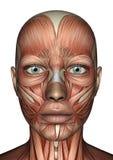 Visage femelle d'anatomie illustration stock