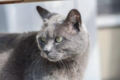 Visage frais de chat gris Photo stock