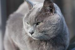 Visage frais de chat gris Photos libres de droits
