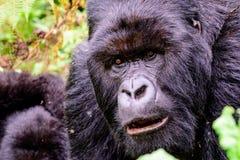 Visage grave d'un gorille de montagne de silverback Photos libres de droits