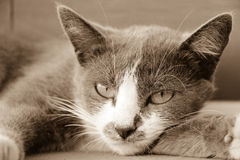 Visage gris de chat photo stock