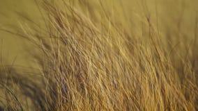 Visage haut étroit de lion masculin africain sauvage, la savane, Afrique image stock