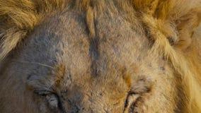 Visage haut étroit de lion masculin africain sauvage, la savane, Afrique image libre de droits