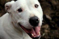 Visage heureux de la race blanche de Pit Bull Photo libre de droits