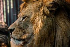 Visage mâle de lions Images libres de droits
