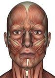 Visage masculin d'anatomie Photos stock