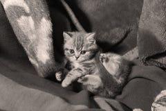 Visage mignon, chaton nouvellement soutenu Images stock