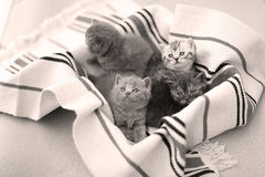 Visage mignon, chatons nouvellement soutenus recherchant Photographie stock libre de droits
