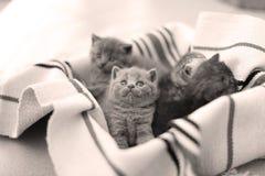 Visage mignon, chatons nouvellement soutenus recherchant Photos libres de droits