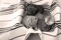 Visage mignon, chatons nouvellement soutenus recherchant Images stock