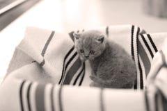Visage mignon, chatons nouvellement soutenus recherchant Photo stock