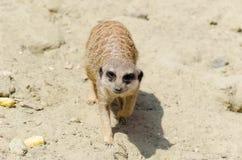 Visage mignon d'un meerkat animal brun Photographie stock libre de droits