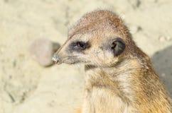 Visage mignon d'un meerkat animal brun Images libres de droits