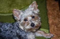 Visage mignon de chien avec les oreilles saillantes et les cheveux bouclés Images libres de droits