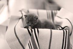 Visage mignon, miauler nouvellement soutenu de chatons Photo stock