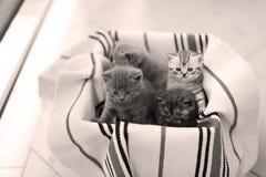 Visage mignon, miauler nouvellement soutenu de chatons Photo libre de droits