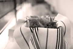 Visage mignon, miauler nouvellement soutenu de chatons Photographie stock libre de droits