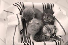 Visage mignon, miauler nouvellement soutenu de chatons Images libres de droits