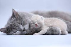 Visage nouveau-né des Anglais Shorthair et mignon bleu photos libres de droits