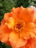 Visage orange de l'amour Photo libre de droits