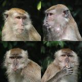 Visages curieux de singe Photographie stock libre de droits