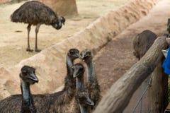 Visages curieux mignons d'oiseau d'émeu Image libre de droits