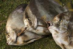 Visages de poissons photos libres de droits