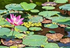 Visakha Bucha Day. Buddha's birthday lotus flower meditation relax concept Vesak day. Visakha Bucha Day water lilly lotus flower. Buddha's birthday lotus flower stock images