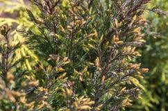Visare av cypressen Royaltyfria Bilder