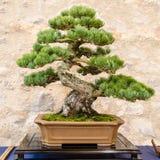 Visaren för japan fem sörjer (Pinusparvifoliaen) som bonsaiträd Arkivfoton