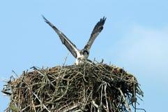 Visarend die Nest beschermt Stock Foto