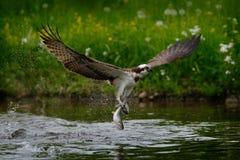 VISAREND die vissen vangt Vliegende visarend met vissen Actiescène met visarend in de habitat van het aardwater Visarend met viss stock fotografie