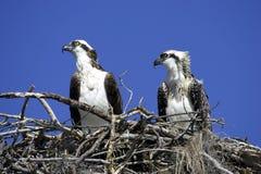 Visarend in nest Stock Foto's