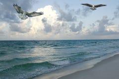Visarend, Oceaan die bij de Onderbreking van de Dag vist Stock Afbeeldingen