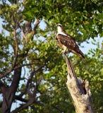 Visarend op boomstam in het bos Royalty-vrije Stock Foto