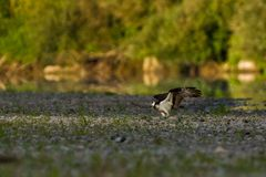 Visarend op een bank van een rivier. Stock Foto