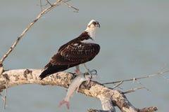 Visarend, Osprey, ridgwayi del haliaetus del Pandion foto de archivo libre de regalías
