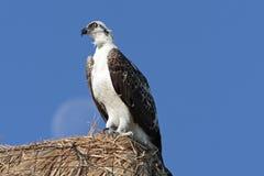 Visarend, Osprey, ridgwayi del haliaetus del Pandion imagen de archivo libre de regalías
