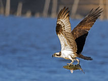Visarend tijdens de vlucht met vissen Royalty-vrije Stock Afbeelding