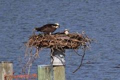 Visarendpaar op het Nest stock foto