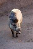 visayan свиньи warty Стоковая Фотография