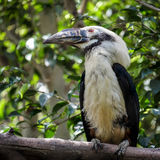 Visayan Hornbill Royalty Free Stock Photography