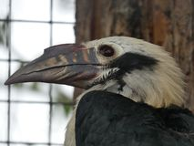 Visayan hornbill looking out at the day stock photos