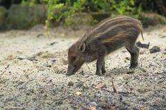 Visayan pig Stock Images