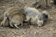 Visayan pig Royalty Free Stock Image
